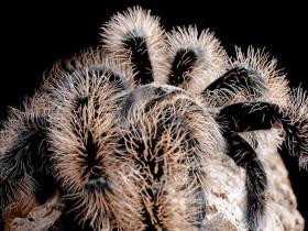 Brachypelma albopilosum 'NICARAGUA' L1 (1cm) x10